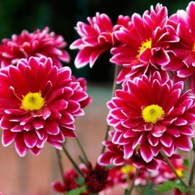 Хризантемы. Запах осени