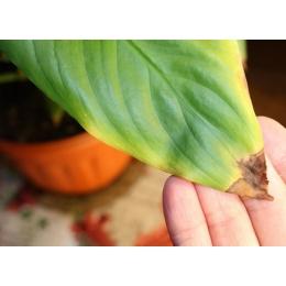 Сухие кончики у листьев