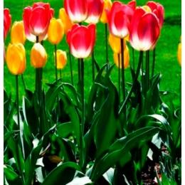 Тюльпаны – символ весны
