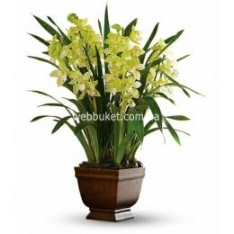 Орхидея Цимбидиум 21/90