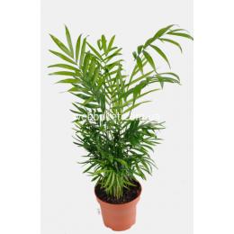 Пальма Хамедорея 12|50 См
