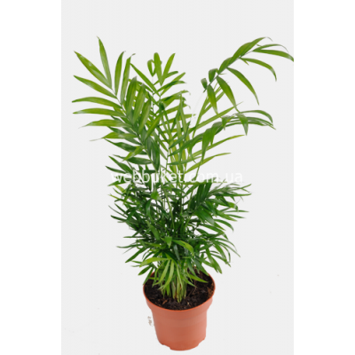Пальма Хамедорея 12 45См